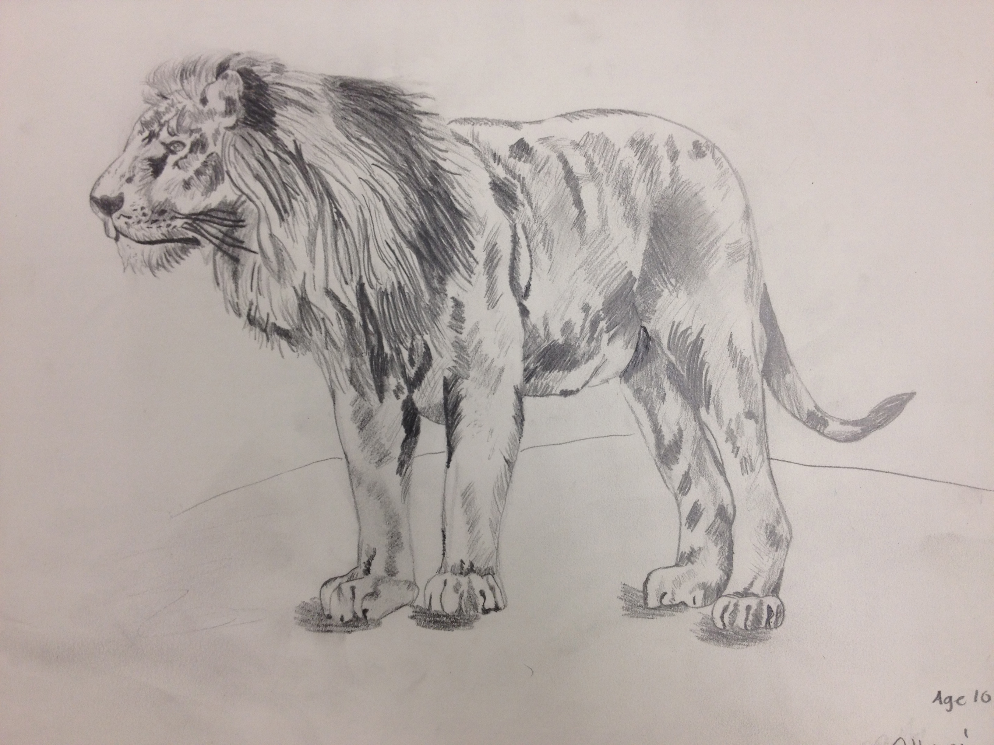 Lion pencil drawing by an 11 year old